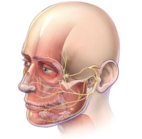 Recorrido VII Par craneal - Nervio facial