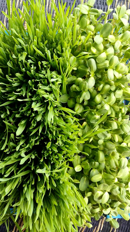 Wheatgrass and sunflower sprouts