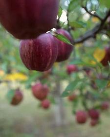 pollinate apple trees