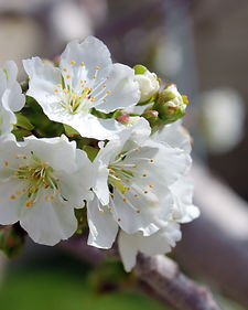 Dropcopter pollinates cherry-tree-flowers-white-flowers