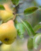 pear crop pollination.jpg