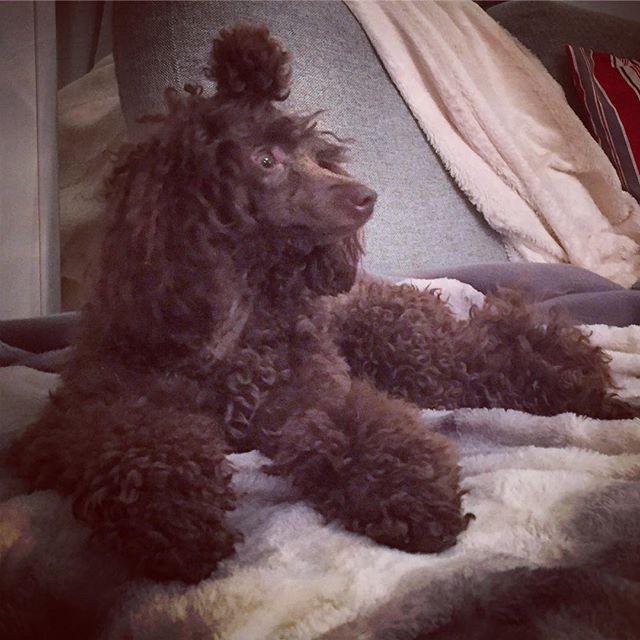 #poodlelove #poodlelife #poodlesofinstag