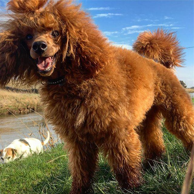 ynwa elsker  springe å leke med de andre hundene