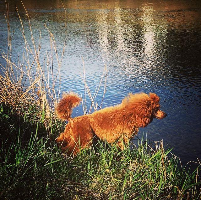#puddel #puddles #poodle #poodle_feature