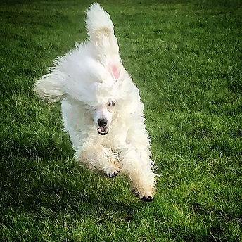 #poodle #poodlesofinstagram #poodlelove