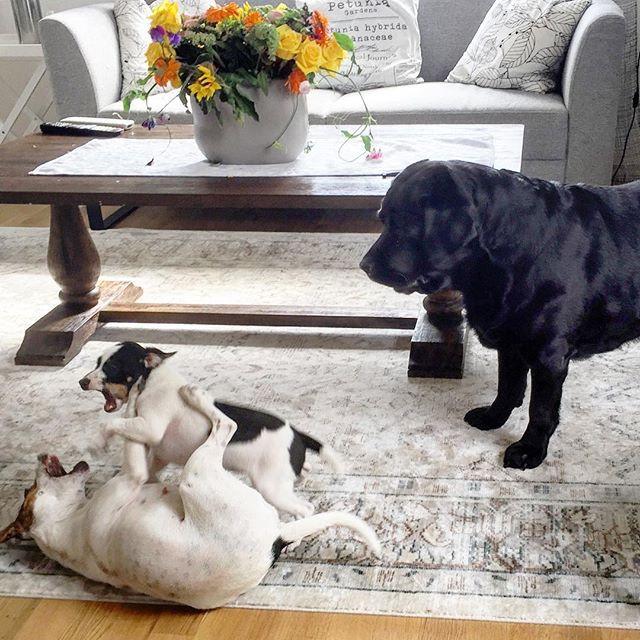 😍😂😂Maia labrador er noe sjokket  over