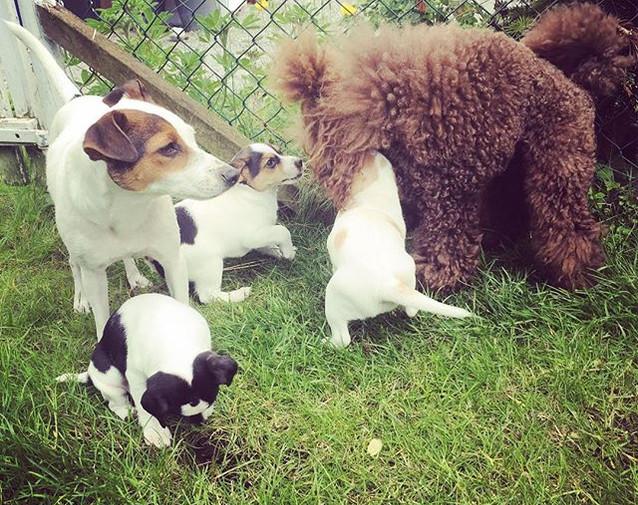 #poodel #poodle #puppydog #puddelgram #p