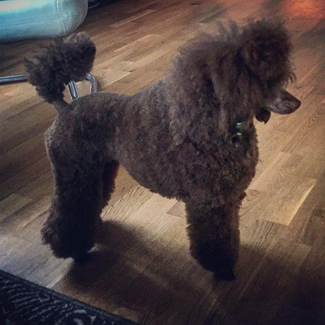 Mira ready for dog show #puddelgram #hun
