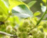 tupelo honey blooms.jpg