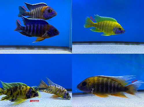 Male Peacock PACK