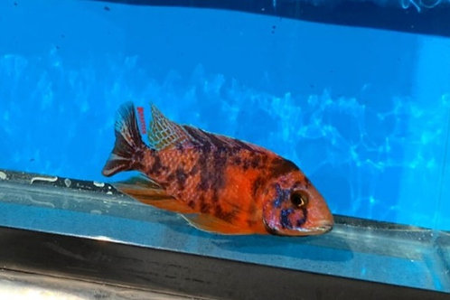 OB Peacock - Red Clementine