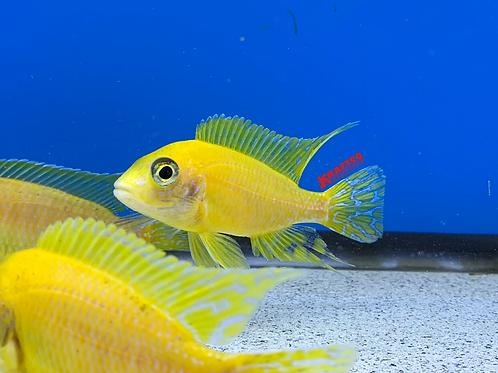 Yellow Peacock