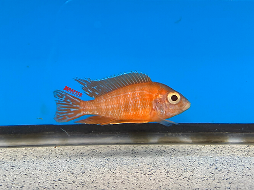 Albino Ruby Red
