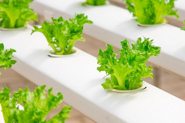 hydroponic-lettuce.jpg