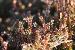 Plant de canneberge hiver