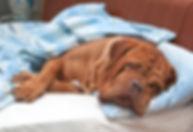 Dogue De Bordeaux Dog (French Mastiff) S