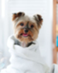 Cute little yorkie dog in a towel after