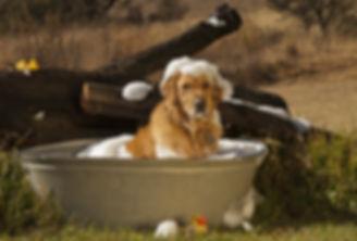 Golden Retriever in Bathtub.jpg