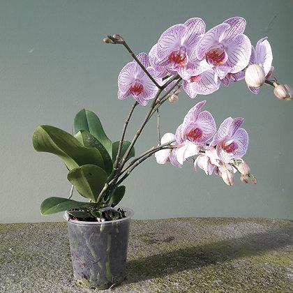 Orchidee Phalenopsis hellrosa. Dreirispig. Höhe ca. 45cm.