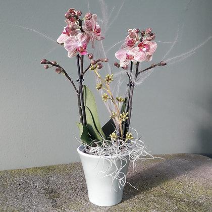 Orchidee Phalenopsis rose`; midi Höhe c. 40cm. Mit Übertopf