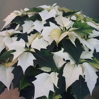 Weihnachtsstern Busch weiß; Breite ca. 50cm