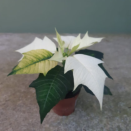 Weihnachtsstern weiß  mini;  im 6cm Topf; Höhe ca. 6cm
