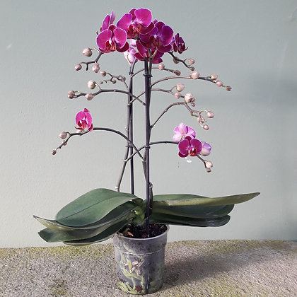 Orchidee  Phalenopsis multiflora lila; Höhe ca. 50cm.