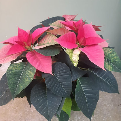 Weihnachtsstern rosa, im 14cm Topf; Höhe ca. 40cm