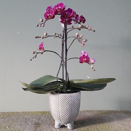 Orchidee  Phalenopsis multiflora lila; Höhe ca. 50cm. Mit Übertopf