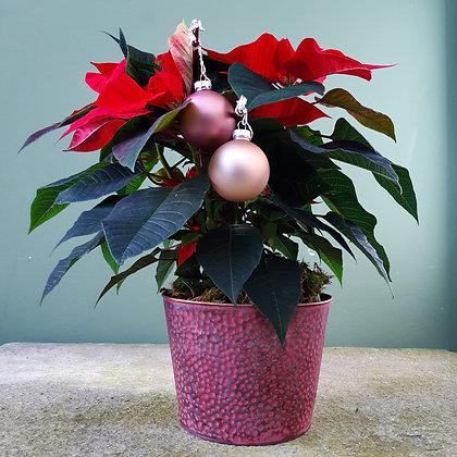 Weihnachtsstern rot; dekoriert, mit Übertopf, Höhe ca. 50cm