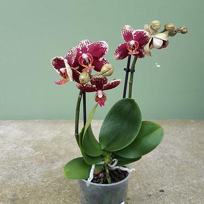Orchidee Phalenopsis dunkelrot; midi; Höhe ca. 30cm