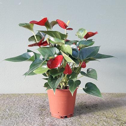 Anthurie rot kleinblütig. Höhe ca. 35cm