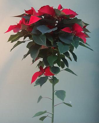 Weihnachtstern Stämmchen rot; Höhe 100cm
