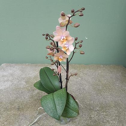Duft-Orchidee Phalenopsis; Höhe ca. 50cm