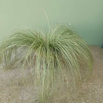 Carex Gras Mint Curls im 12cm Topf