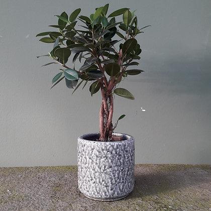 Ficus moclame; Stamm, Höhe ca. 50cm. Mit Übertopf