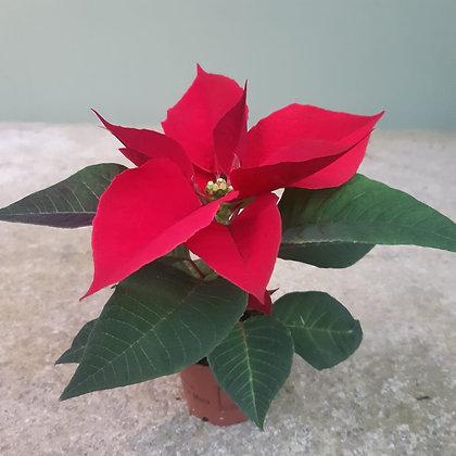 Weihnachtsstern rot, mini; im 6cm Topf; Höhe ca. 6cm