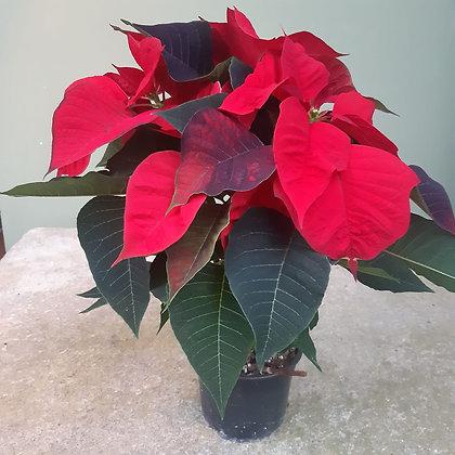 Weihnachtsstern rot; im 12cm Topf; Höhe ca. 35cm