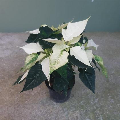 Weihnachtsstern weiß; im 12cm Topf; Höhe ca. 30cm