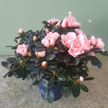 Azalee rose', Höhe ca. 25cm