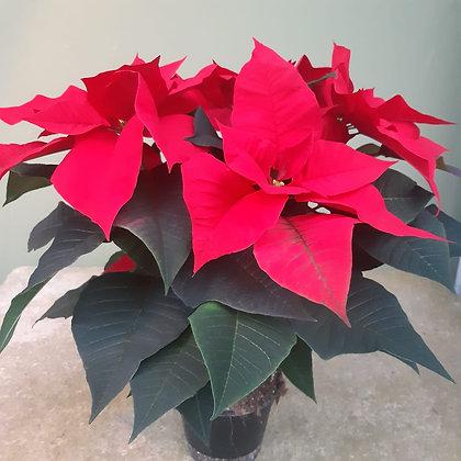 Weihnachtsstern rot, im 14cm Topf; Höhe ca. 50cm