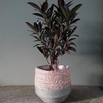 Ficus elastica; verzweigt. Höhe ca. 80 cm. Mit Korb