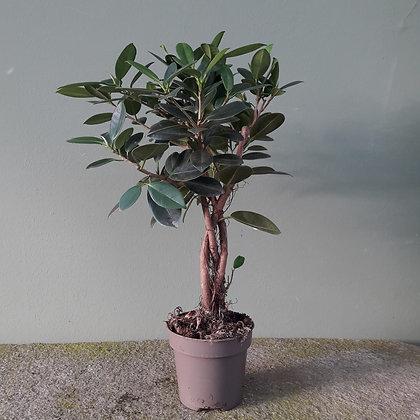 Ficus moclame; Stamm, Höhe ca. 50cm