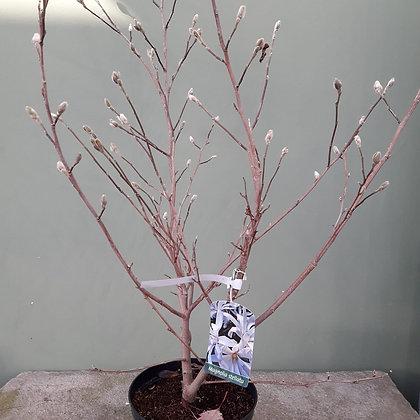 Magnolie stellata; Pflanzenhöhe derzeit 1m