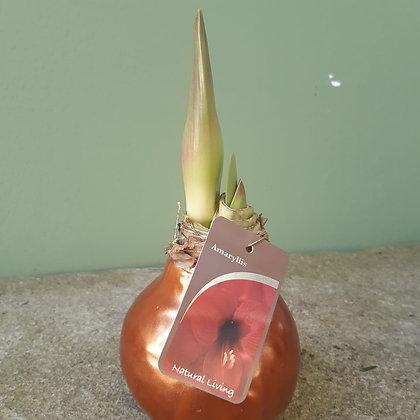 Amaryllis Blüte rot; gewachst bronze