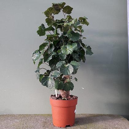 Polycasia; Höhe ca. 80cm