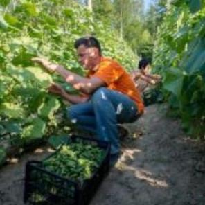 Uzgajivači kornišona očekuju dobru sezonu, berači će dnevno zarađivati 50 KM