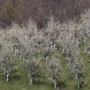 Snijeg, mraz i niske temperature nanijeli mnogo štete voćnjacima