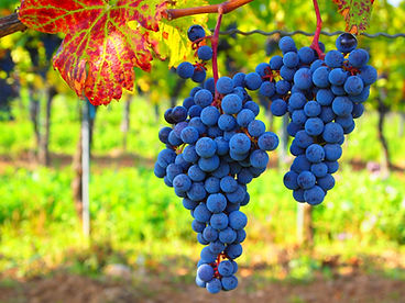 blue_grapes_516586.jpg