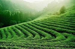 Tè-verde-coltivazioni